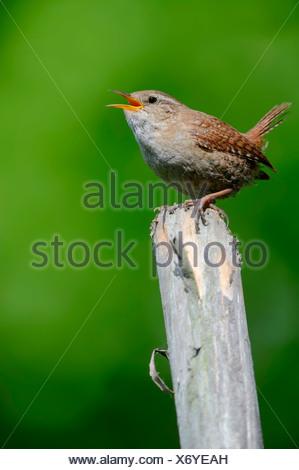 Wren (Troglodytes troglodytes), singing on fence post, North Rhine-Westphalia, Germany - Stock Photo