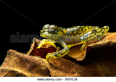 White-spotted Cochran Frog (Sachatamia albamoculata) sitting on leaf, Choco rainforest, Canande River Nature Reserve, Ecuador - Stock Photo