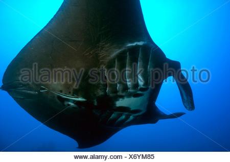 Black Manta Ray Manta birostris Caroline Islands Senyavin Islands Pacific Pohnpei Micronesia - Stock Photo