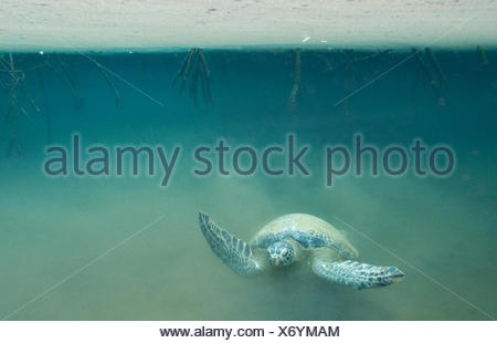 Galapagos green turtle (Chelonia mydas agassisi) swimming in murky water of mangrove forest, Galapagos - Stock Photo