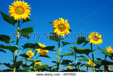 common sunflower (Helianthus annuus), field of sunflowers, Germany - Stock Photo