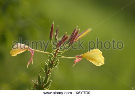 Large-Flowered Evening, Red-Sepaled Evening-Primrose, Large-Leaved Evening Primerose (Oenothera glazioviana, Oenothera erythrosepala), inflorescence, Germany, Bavaria - Stock Photo