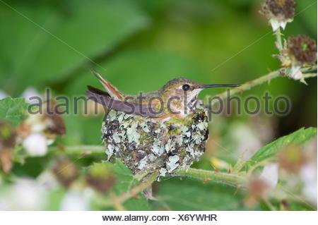 Rufous has two baby humming bird (selasphorus rufus) birds in the nest .Ladner, British Columbia - Stock Photo