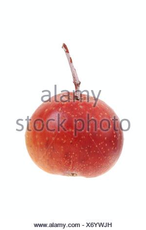 Fruit of a service tree (Sorbus domestica) - Stock Photo