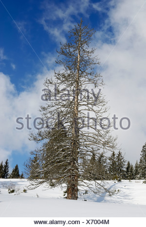 Dead Norway Spruce (Picea abies) in a winter landscape, Sudelfeld, Bavarian Alps, Bavaria, Germany, Europe - Stock Photo
