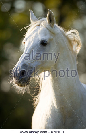 Pure Spanish Horse Horse Andalusian Equus ferus caballus - Stock Photo