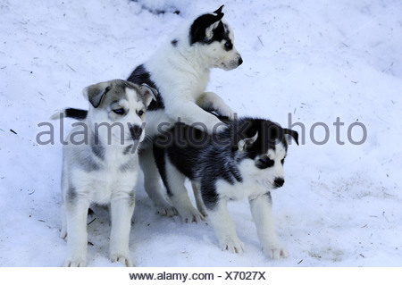 Six week old purebred Siberian Husky puppies in snow at Bright Angel Park, Cowichan Station, BC.  Model releae, Amber Lassooij) - Stock Photo