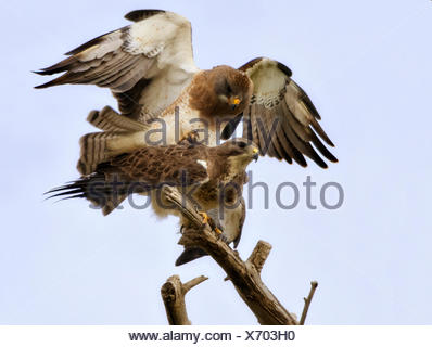 USA, Colorado, Mating hawks - Stock Photo
