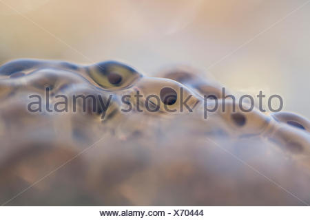 Frog spawn from moor frog - Stock Photo