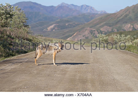 A Wolf Stops On Park Road In Denali National Park And Preserve, Interior Alaska, Summer - Stock Photo