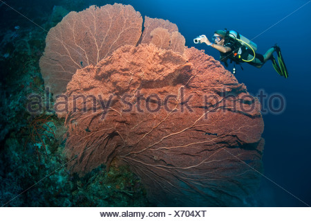 Diver and giant fan coral - Stock Photo
