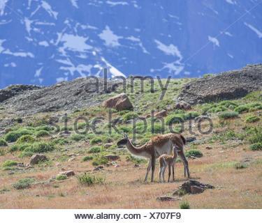 Guanaco (Llama guanicoe) with young, Torres del Paine, Magallanes y la Antártica Chilena Region, Chile - Stock Photo