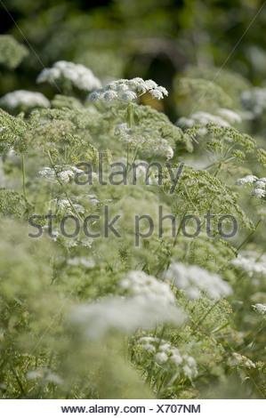 bishop's flower, ammi majus Stock Photo