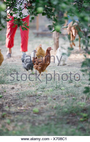 Chickens standing on a lawn underneath a tree, a woman and dog in the background. - Stock Photo