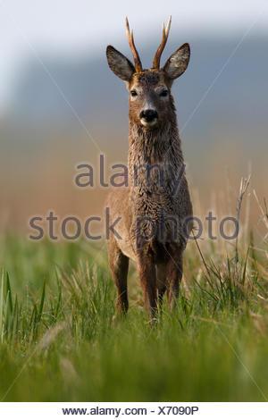European roe deer (Capreolus capreolus), buck in a meadow, change of coat, winter and summer coat, Nature Park Peental - Stock Photo