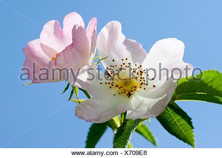 dog rose (Rosa canina), flowers - Stock Photo