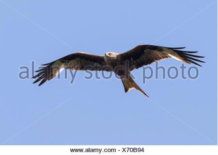 Rotmilan, Rot-Milan (Milvus milvus), im Flug, Deutschland, Mecklenburg-Vorpommern   red kite (Milvus milvus), in flight, Germany - Stock Photo