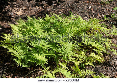 Beech fern - Stock Photo