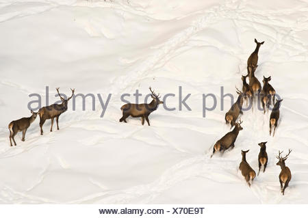 Red deer (Cervus elaphus) on a snow-covered cliff, High Alpine Nature Park of the Zillertal Alps, Tyrol, Austria, Europe - Stock Photo