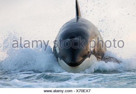 Orca (Orcinus orca) breaching, False Bay, South Africa - Stock Photo