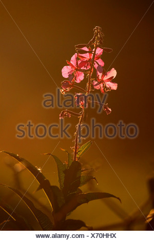 Fireweed Chamaenerion angustifolium  Alaska - Stock Photo