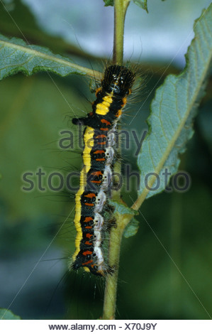 Caterpillar (Apatele psi), eating - Stock Photo