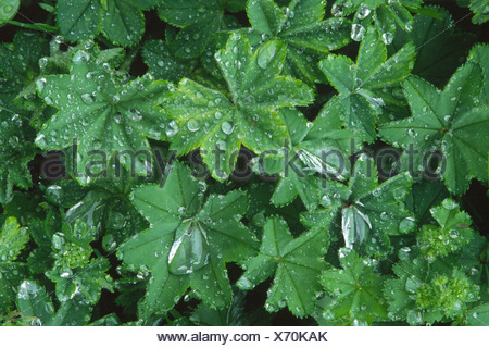 Waterdrops on Lady's Mantle (Alchemilla mollis), leaves after rain in North Tyrol, Austria, Europe - Stock Photo