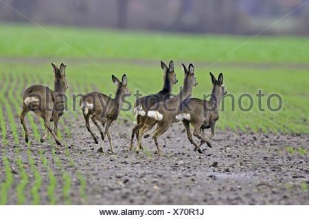 roe deer (Capreolus capreolus), herd running on a field, Germany, Lower Saxony - Stock Photo