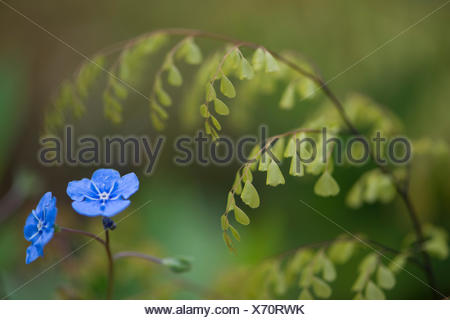 Evergreen or Himalayan maidenhair (Adiantum venustum), sprouting, and creeping navelwort or blue-eyed-Mary (Omphalodes verna) - Stock Photo