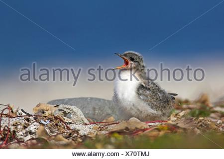 arctic tern (Sterna paradisaea), calling chick, Iceland, Latrabjarg - Stock Photo