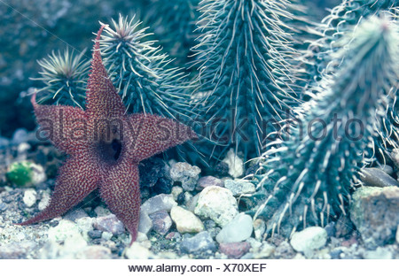 cocklebur (Huernia pillansii), blooming - Stock Photo