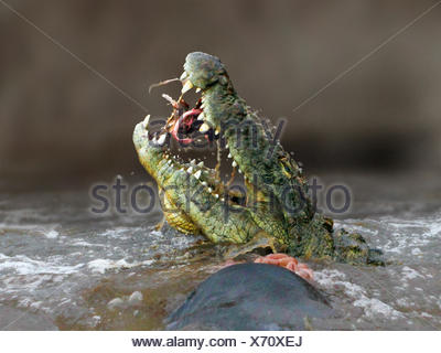 Nile crocodile (Crocodylus niloticus), eating a gnu in the Mara River, lateral portrait, Kenya, Masai Mara National Park - Stock Photo
