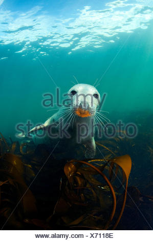 A young Grey Seal (Halichoerus grypus) above kelp in the Farne Islands. This seal has an orange snout from foraging on a rusty ship wreck. Northumberland,  UK - Stock Photo