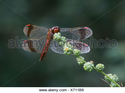 Banded darter sitting on a branch - Stock Photo