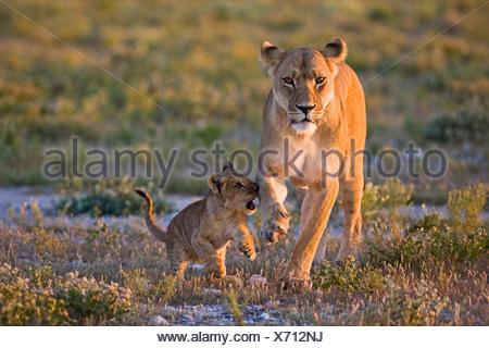 Africa, Botswana, Lioness (Panthera leo) and cub - Stock Photo