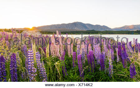 Sun shining through purple Large-leaved lupines (Lupinus polyphyllus), sunrise behind mountains, Lake Tekapo, Canterbury region - Stock Photo