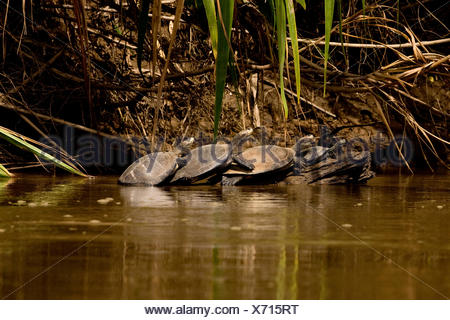 YELLOW-SPOTTED RIVER TURTLE podocnemis unifilis, MADRE DE DIOS RIVER IN MANU NATIONAL PARK, PERU - Stock Photo