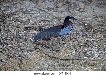 chestnut-bellied heron (Agamia agami), sitting on the ground with prey in its beak, Brazil - Stock Photo