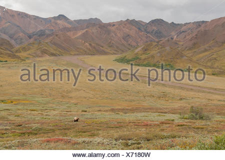 Wide-angle view of the tundra, with a grizzly bear in the distance. - Stock Photo