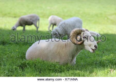 freshly shorn wallachian sheep in the tierpark sababurg - Stock Photo