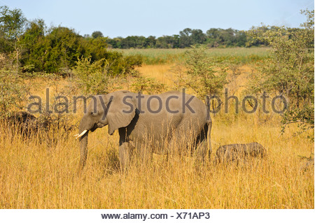 Africa, Bwa Bwata, National Park, Caprivi, Namibia, adults, african, elephants, baby, grasslands, horizontal, mother and child, - Stock Photo