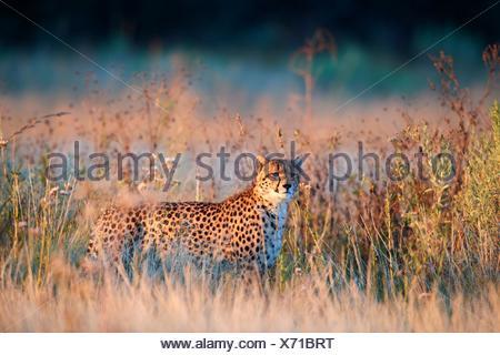 Cheetah male (Acinonyx jubatus) in morning light. Moremi National Park, Okavango delta, Botswana, Southern Africa. - Stock Photo