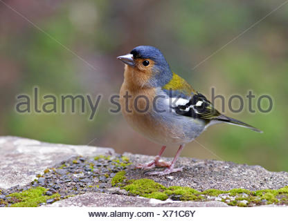 madeira chaffinch - Stock Photo