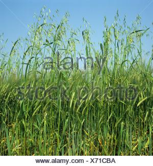 Wild oats Avena fatua annual arable grass weed flower spikes in barley crop in green ear - Stock Photo