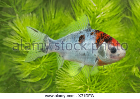 Carassius auratus (Carassius auratus var. shubunkin), swimming in front of Ceratophyllum - Stock Photo