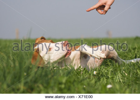 education: half breed dog (Podenco-Pointer) - lying in the grass - Stock Photo