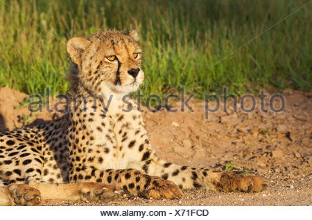 Cheetah (Acinonyx jubatus), young male, resting in the early morning, Kalahari Desert, Kgalagadi Transfrontier Park - Stock Photo