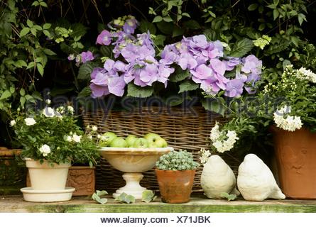 Garden flowers in pots hydrangeas jasmine sedum miniature rose garden flowers in pots hydrangeas jasmine sedum miniature rose stock photo altavistaventures Images