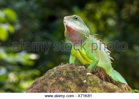 Chinese water dragon (Physignathus cocincinus) on a rock, captive, Leipzig, Saxony, Germany - Stock Photo