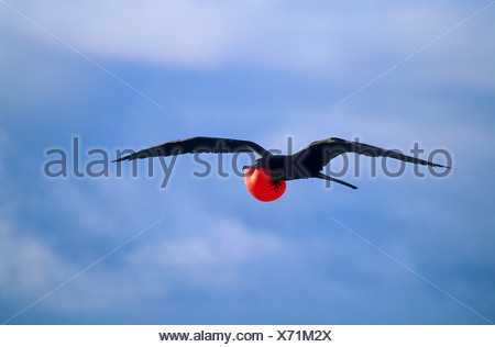 Adult male magnificent frigatebird (Fregata magnificens) displaying to females perched on the ground, North Seymour Island, Gala - Stock Photo